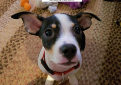 #chihuahua #jackrusselterrier #puppytraining #dogtraininggeorgetown #dogtrainernearme #barkbusters #speakdog #inhomedogtraining