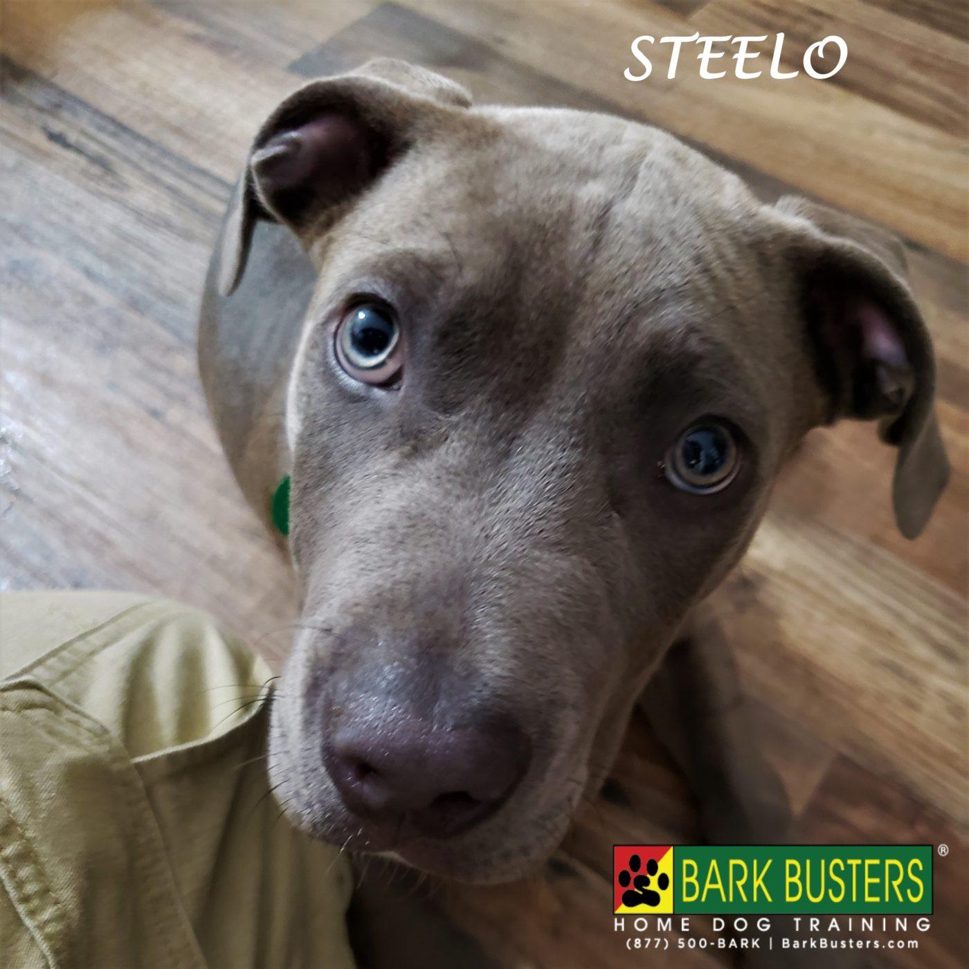 #pitbull #canecorso #puppytraining #dogtrainingroundrock #dogtrainernearme #barkbusters #speakdog #inhomedogtraining
