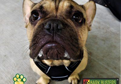 #frenchbulldog #resourceguarding #dogsandchildren #dogtrainingaustin #dogtrainernearme #barkbusters #speakdog #inhomedogtraining