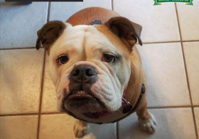 #bulldog #englishbulldog #leashtraining #bitingdog #obediencetraining #dogtrainingaustin #dogtrainerroundrock #dogtrainernearme #barkbusters #speakdog #inhomedogtraining