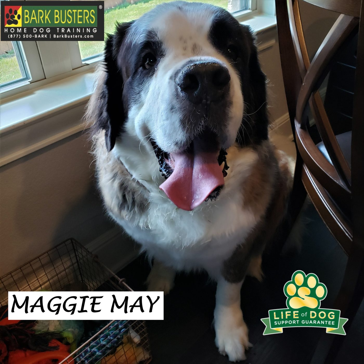 #saintbernard #stbernard #bigdogproblems #dogtraininggeorgetown #dogtrainerroundrock #dogtrainernearme #leashtraining #doormanners #barkbusters #speakdog #inhomedogtraining