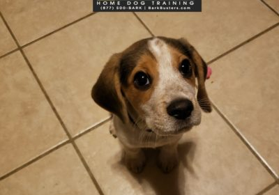 #beagle #puppytraining #toilettraining #dogtrainingroundrock #dogtrainernearme #barkbusters #speakdog #inhomedogtraining