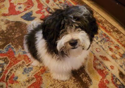 #maltipoo #puppytraining #dogtrainingroundrock #dogtrainernearme #barkbusters #speakdog #inhomedogtraining