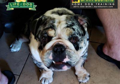 #bulldog #obediencetraining #dogtrainingaustin #dogtrainernearme #barkbusters #speakdog #inhomedogtraining