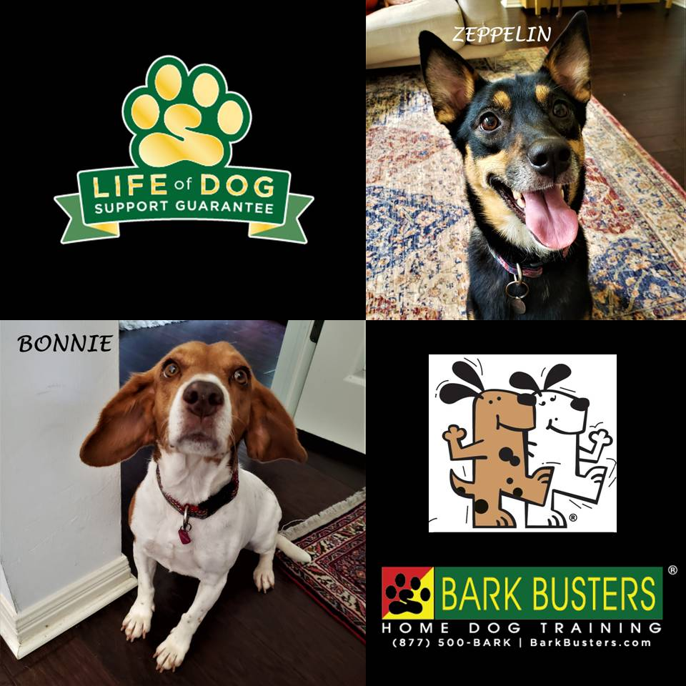#cattledog #shibainumix #beagle #obediencetraining #doormanners #barkbusters #speakdog #dogtrainingaustin #atx #dogtrainernearme #inhomedogtraining