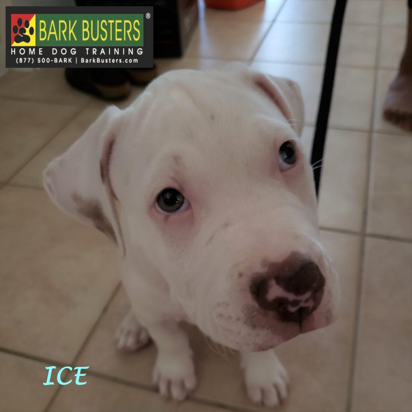 #pitbull #puppytraining #dogtrainingpflugerville #dogtrainernearme #barkbusters #speakdog #inhomedogtraining