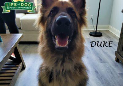 #germanshepherd #gsd #obediencetraining #dogtraininghutto #dogtrainingnearme #barkbusters #speakdog #inhomedogtraining