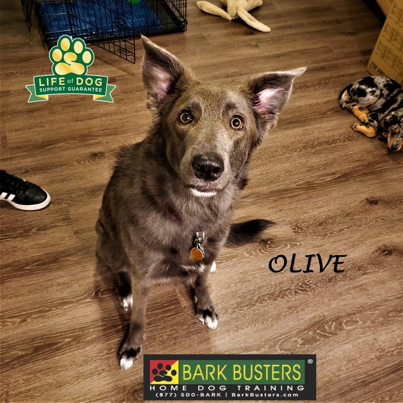 #shepherdmix #siblingrivalry #anxiousdog #dogtrainingdelvalle #dogtrainernearme #barkbusters #speakdog #inhomedogtraining