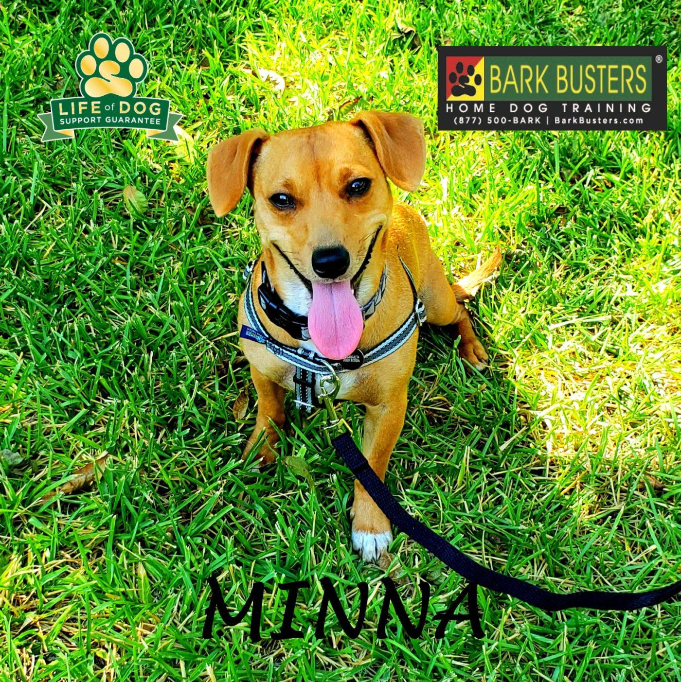 #chihuahua #beagle #mixeddog #dogtrainingaustin #dogtrainernearme #aggression #leashmanners #barkbusters #speakdog #inhomedogtraining