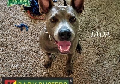 #pitbull #bluelacy #leashtraining #separationanxiety #obediencetraining #dogtrainingpflugerville #dogtrainernearme #barkbusters #speakdog #inhomedogtraining