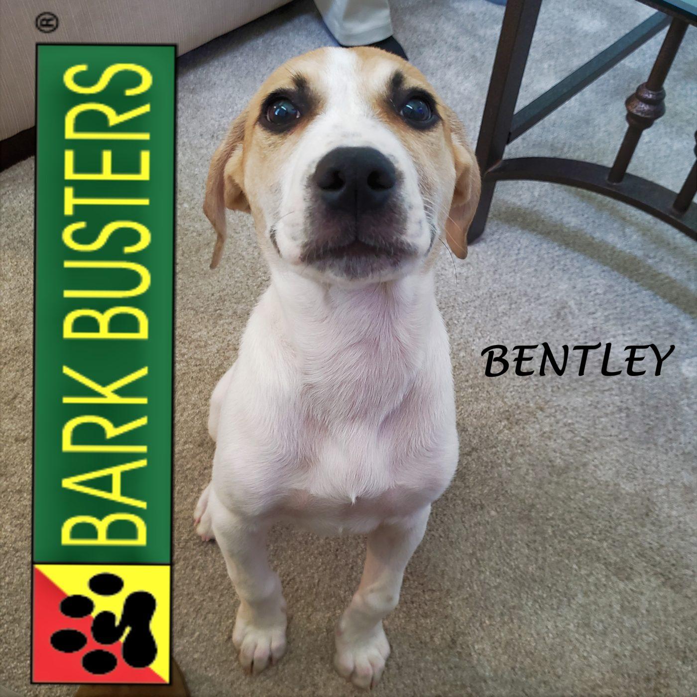 #beaglemix #puppytraining #boopmynose #dogtraininggeorgetown #dogtrainernearme #barkbusters #abetterwaytoabetterdog #inhomedogtraining