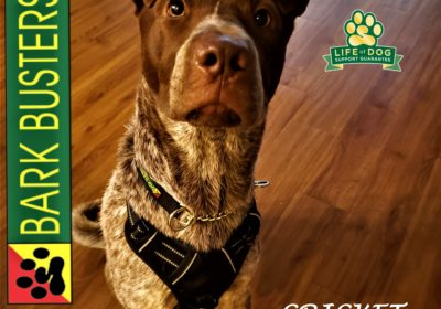 #pointer #obediencetraining #leashtraining #doormanners #separationanxiety #dogtrainingaustin #atx #dogtrainernearme #barkbusters #speakdog #inhomedogtraining