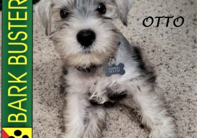 #minischnauzer #puppytraining #toomuchcute #dogtrainingroundrock #dogtrainernearme #barkbusters #abetterwaytoabetterdog #inhomedogtraining