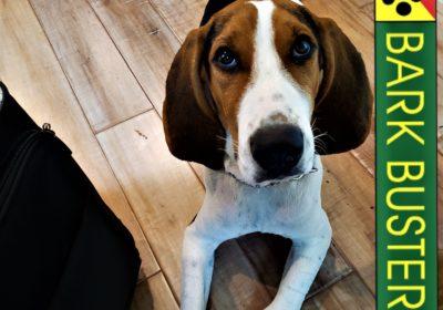 #treeingwalkercoonhound #puppytraining #dogtrainingroundrock #dogtrainernearme #speakdog #barkbusters #inhomedogtraining