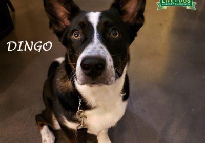#cattledog #mixedbreed #leashmanners #barkingdog #dogtrainingaustin #atx #barkbusters #inhomedogtraing #abetterwaytoabetterdog