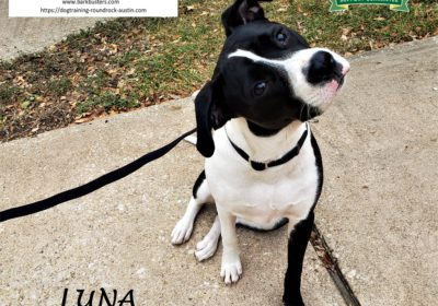 #pitbull #mixedbreed #dogtrainingaustin #dogtrainernearme #leashtraining #obediencetraining #barkbusters #atx #inhomedogtraining #speakdogthebarkbustersway