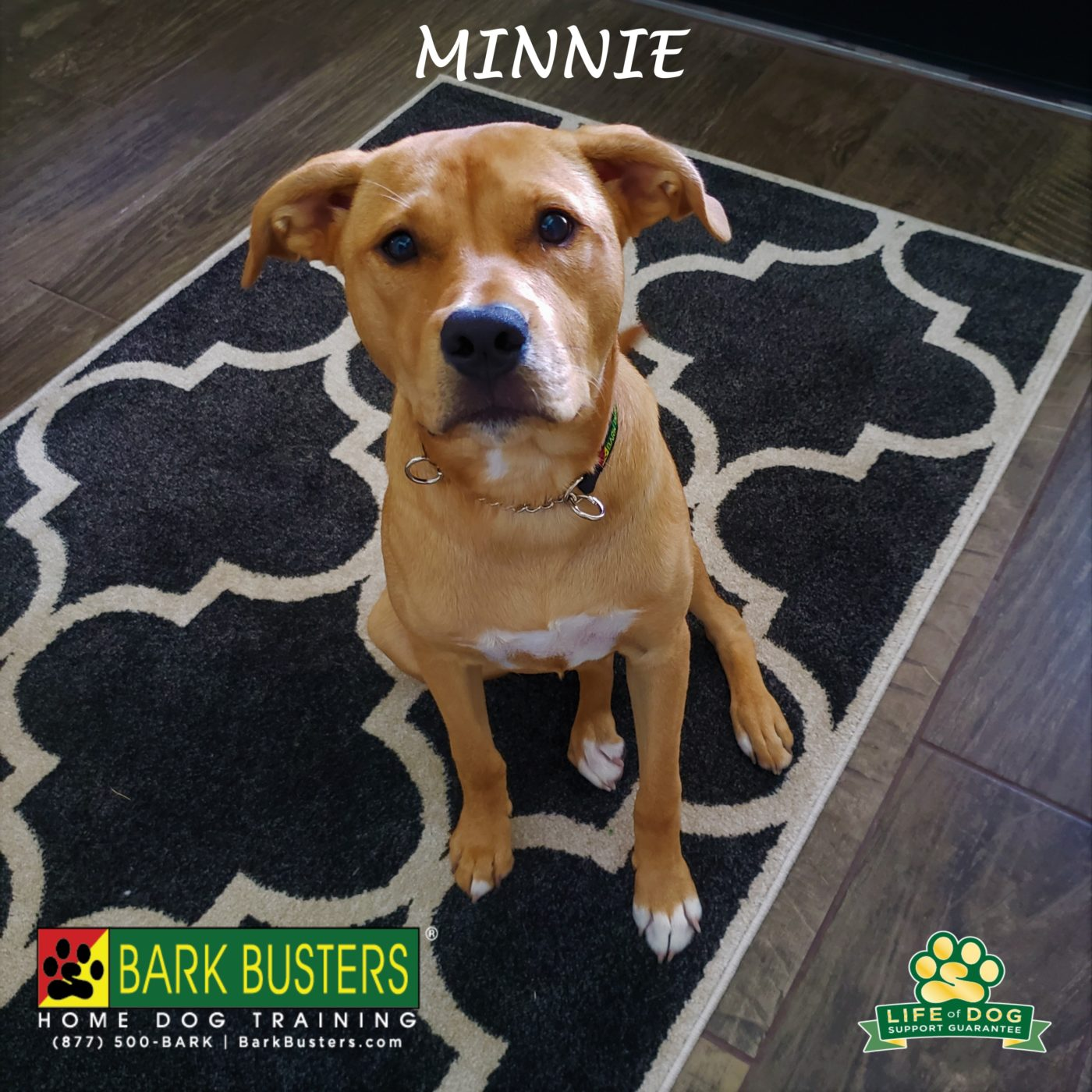 #pitbullmix #leashtraining #obediencetraining #doormanners #dogtrainingroundrock #dogtrainernearme #barkbusters #abetterwaytoabetterdog #inhomedogtraining
