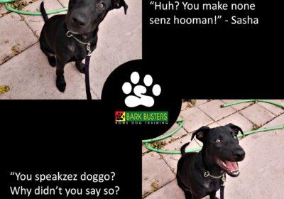 #pitbull / #germanshepherd mix #puppytraining #dogtraineraustin #dogtrainernearme #barkbusters #inhomedogtraining