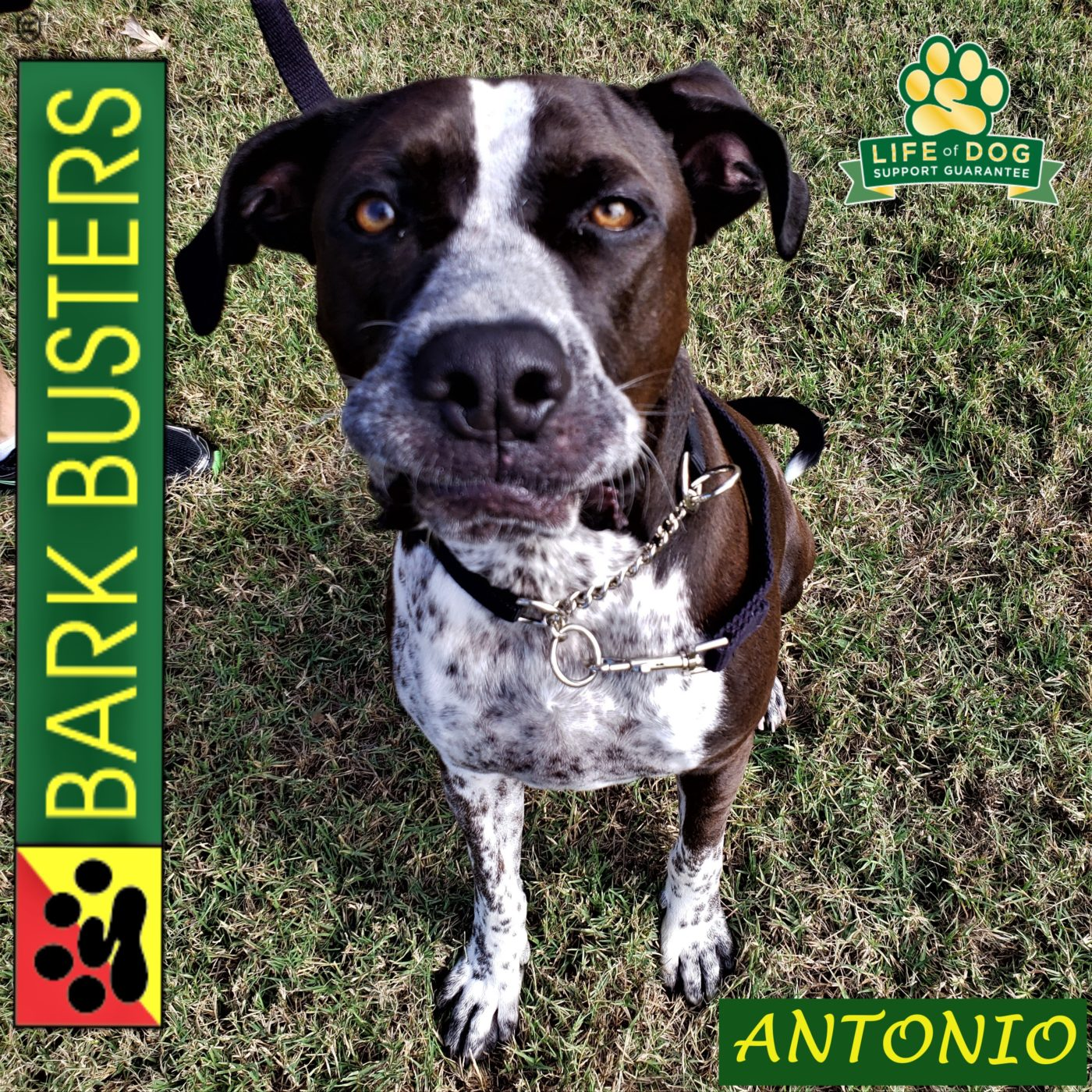 #germanshorthairedpointer #labradorretriever #mixeddogsrule #leashtraining #fearfuldog #obediencetraining #dogtrainingmanor #dogtrainingnearme #barkbusters #inhomedogtraining