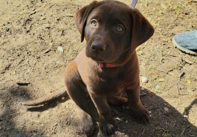 #labradorretriever #chocolatelab #puppytraining #obediencetraining #dogtrainingaustin #atx #dogtrainernearme #barkbusters #speakingdog #inhomedogtraining