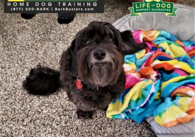 #lhasaapso #separationanxiety #resourceguarding #siblingrivalry #dogtraineraustin #dogtrainernearme #atx #barkbusters #inhomedogtraining