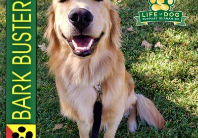 #goldenretriever #doormanners #leashtraining #obediencetraining #dogtrainingroundrock #dogtrainernearme #barkbusters #inhomedogtraining