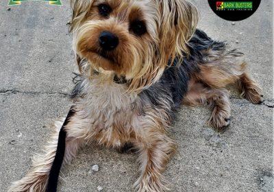 #yorkshireterrier #yorkie #nostrings #dogtraininggeorgetowntx #leashtraining #obediencetraining #dogtrainernearme #barkbusters #inhomedogtraining