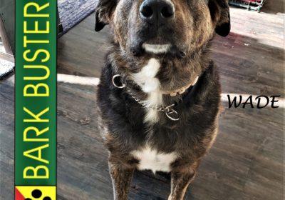#shepherdmix #labmix #leashmanners #separationanxiety #huggabledog #dogtrainingaustin #atx #barkbusters #inhomedogtraining #dogtrainernearme