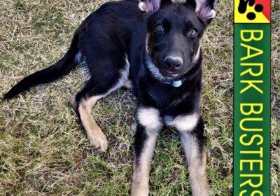 #germanshepherd #gsd #puppytraining #dogtraininggeorgetown #dogtrainernearme #barkbusters #speakdogchangeyourlife #inhomedogtraining