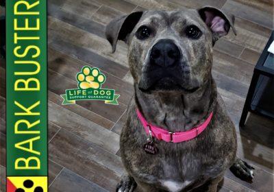 #pitbull #anxiousdog #fearaggression #dogtrainingaustin #dogtrainernearme #barkbusters #inhomedogtraining