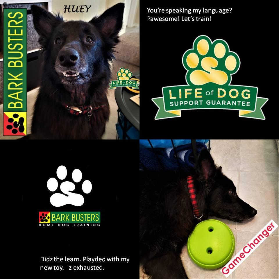 #germanshepherd #rescuedogsarebeautiful #dogtrainingcopperascove #dogtrainernearme #barkbusters #inhomedogtraining