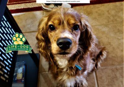 #cockerspaniel #obediencetraining #barking #dogtrainingroundrock #speakdogchangeyourlife #dogtrainernearme #barkbusters #inhomedogtraining #rescuedogsarebeautiful