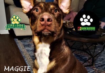 #australianshepherd #mixeddogsrock #leashmanners #obediencetraining #dogtrainingaustin #atx #dogtrainernearme #barkbusters #inhomedogtraining