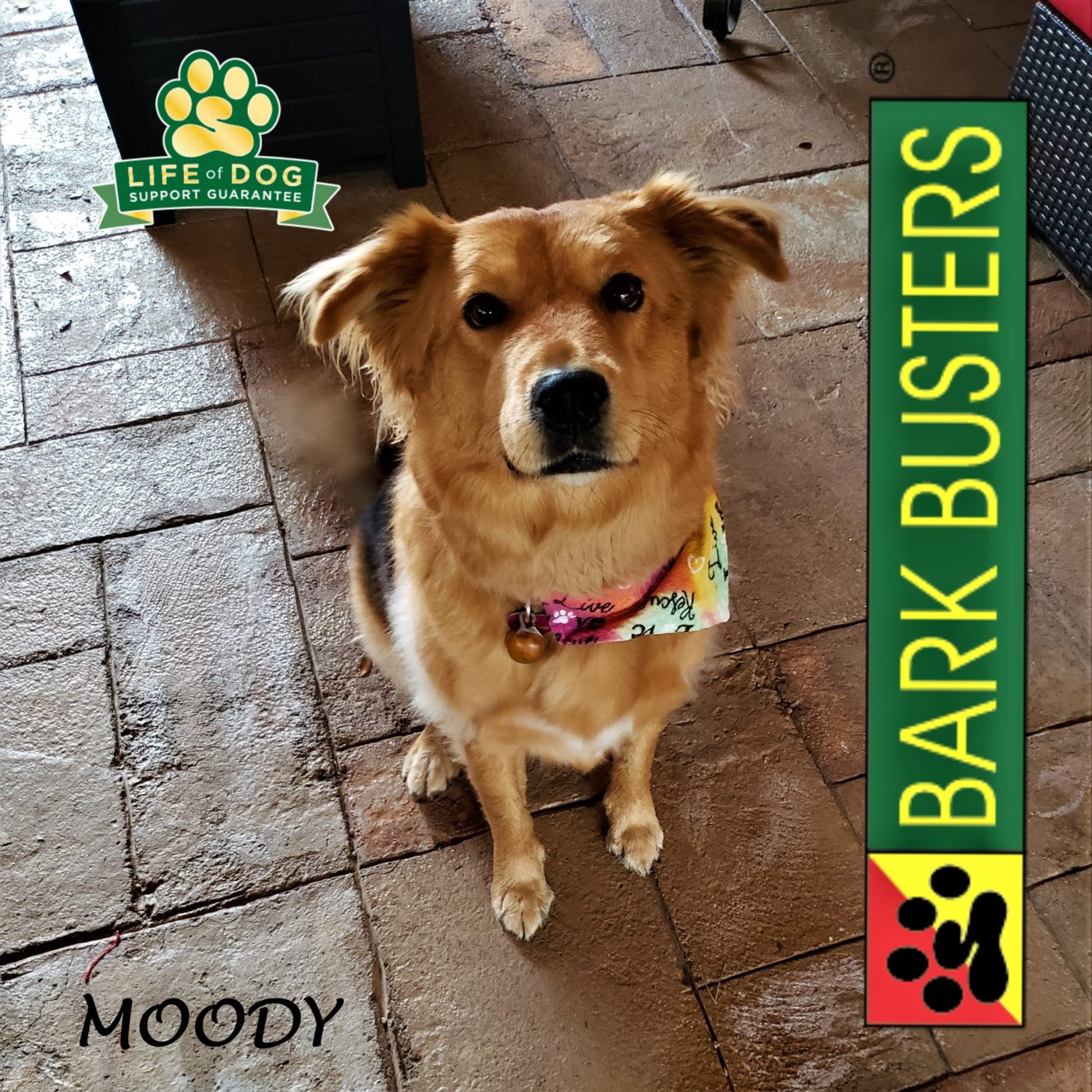 #goldenretriever #germanshepherd #mixeddogsarebeautiful #obediencetraining #leashtraining #dogtrainingroundrock #dogtrainernearme #barkbusters #inhomedogtraining
