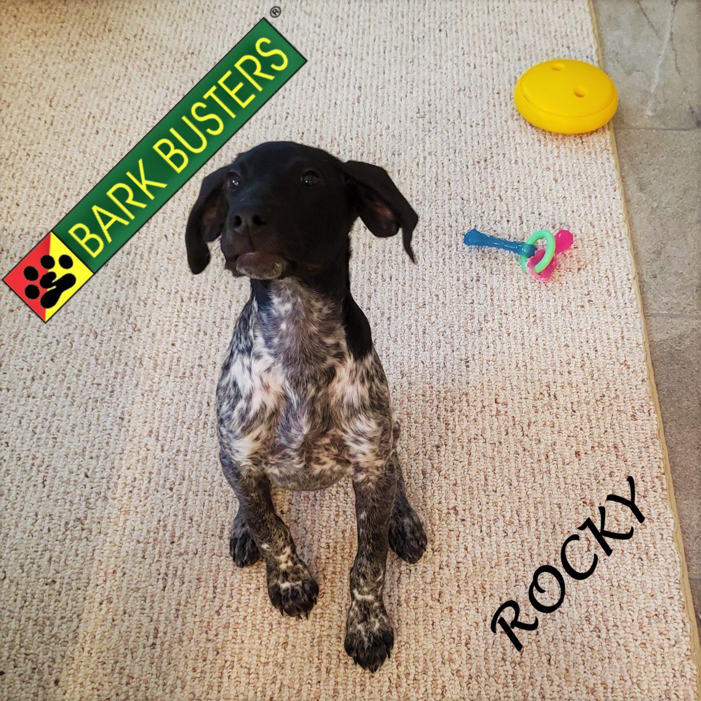 #germanshorthairedpointer #gsp #puppytraining #dogtraininglibertyhill #dogtrainernearme #gamechangertoy #barkbusters #speakdogchangeyourlife #inhomedogtraining