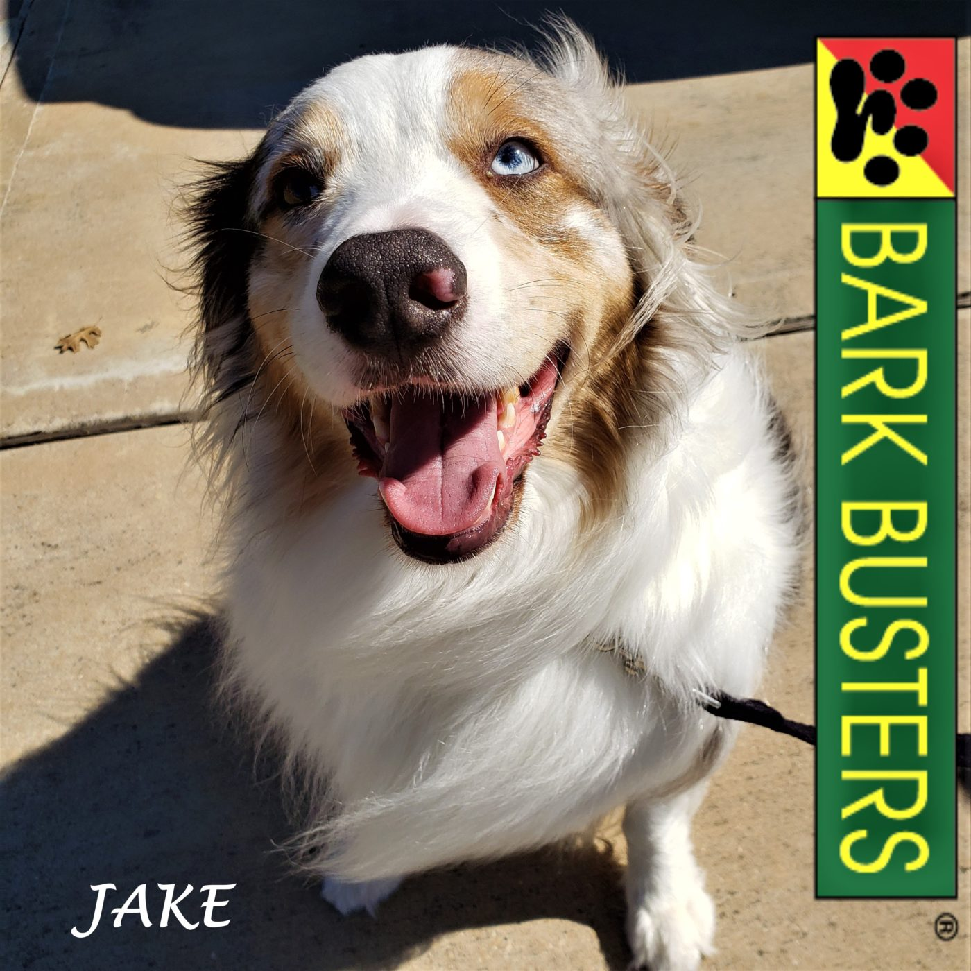 #australianshepherd #leashtraining #obediencetraining #speakdogchangeyourlife #dogtraininghutto #dogtrainernearme #barkbusters #inhomedogtraining