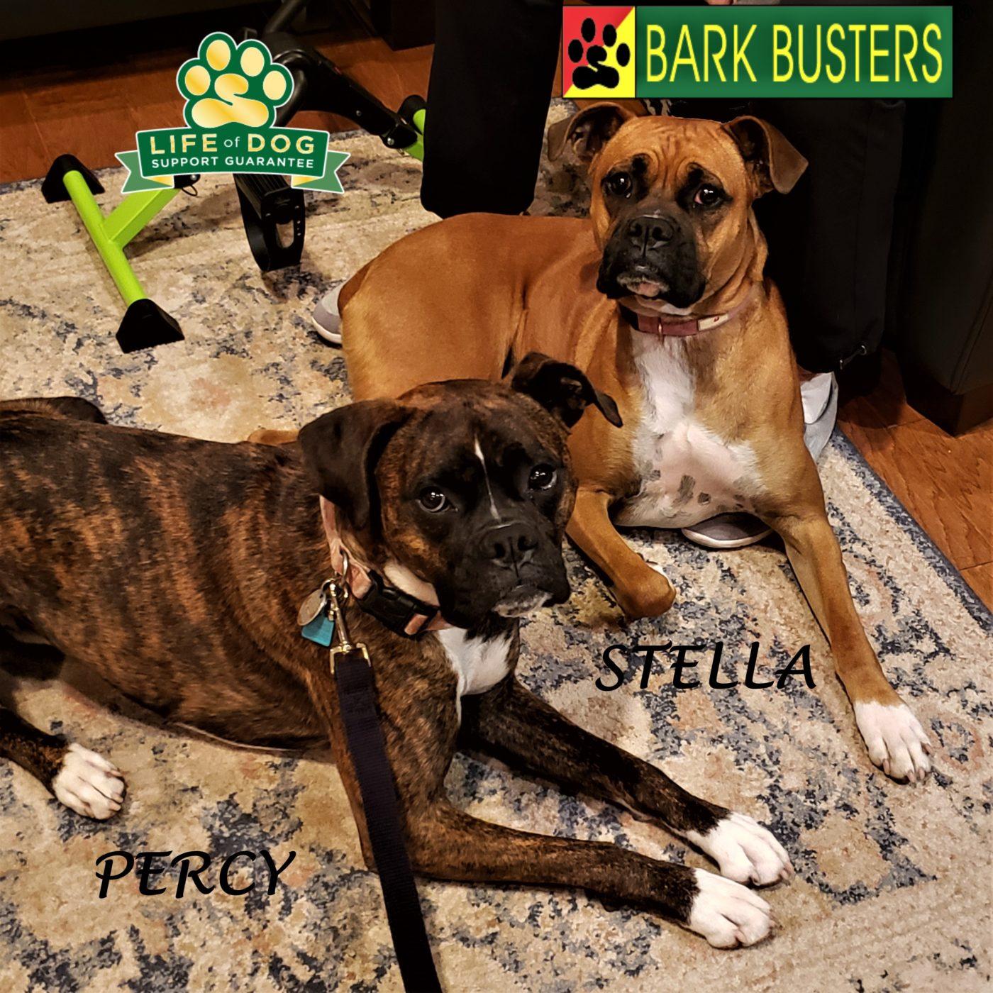 #boxer #barkingdogs #dogtrainingpflugerville #obediencetraining #dogtrainernearme #barkbusters #inhomedogtraining