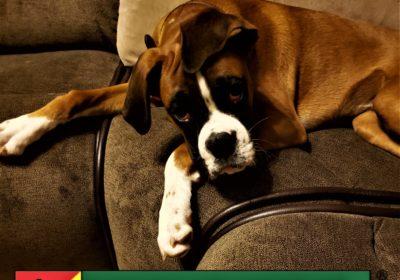 #boxer #boxerpuppy #puppytraining #dogtrainingroundrock #dogtrainernearme #barkbusters #inhomedogtraining
