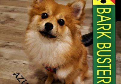 #pomeranian #separationanxiety #obediencetraining #dogtrainingaustin #dogtrainernearme #speakdogchangeyourlife #barkbusters #inhomedogtraining
