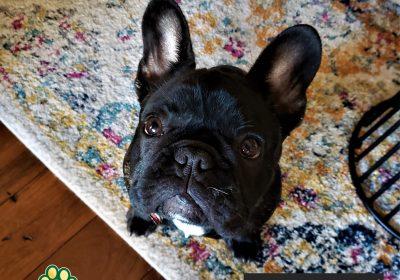 #frenchbulldog #dogtraininggeorgetown #dogtrainernearme #obediencetraining #barkbusters #inhomedogtraining