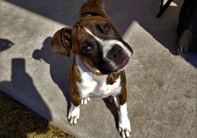 #boxer #boxerpuppy #dogtraininghutto #dogtrainernearme #obediencetraining #puppytraining #barkbusters #inhomedogtraining