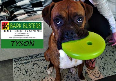 #boxer #separationanxiety #doormanners #dogtrainingjarrell #dogtrainernearme #gamechangerdogtoy #barkbusters #inhomedogtraining