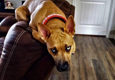 #pitbull #gsd #puppytraining #dogtrainingroundrock #dogtrainernearme #barkbusters #inhomedogtraining