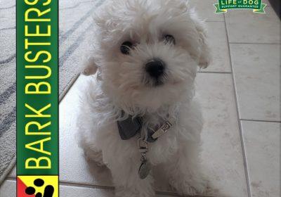 #maltipoo #puppytraining #dogtrainingroundrocktx #dogtrainernearme #barkbusters #inhomedogtraining