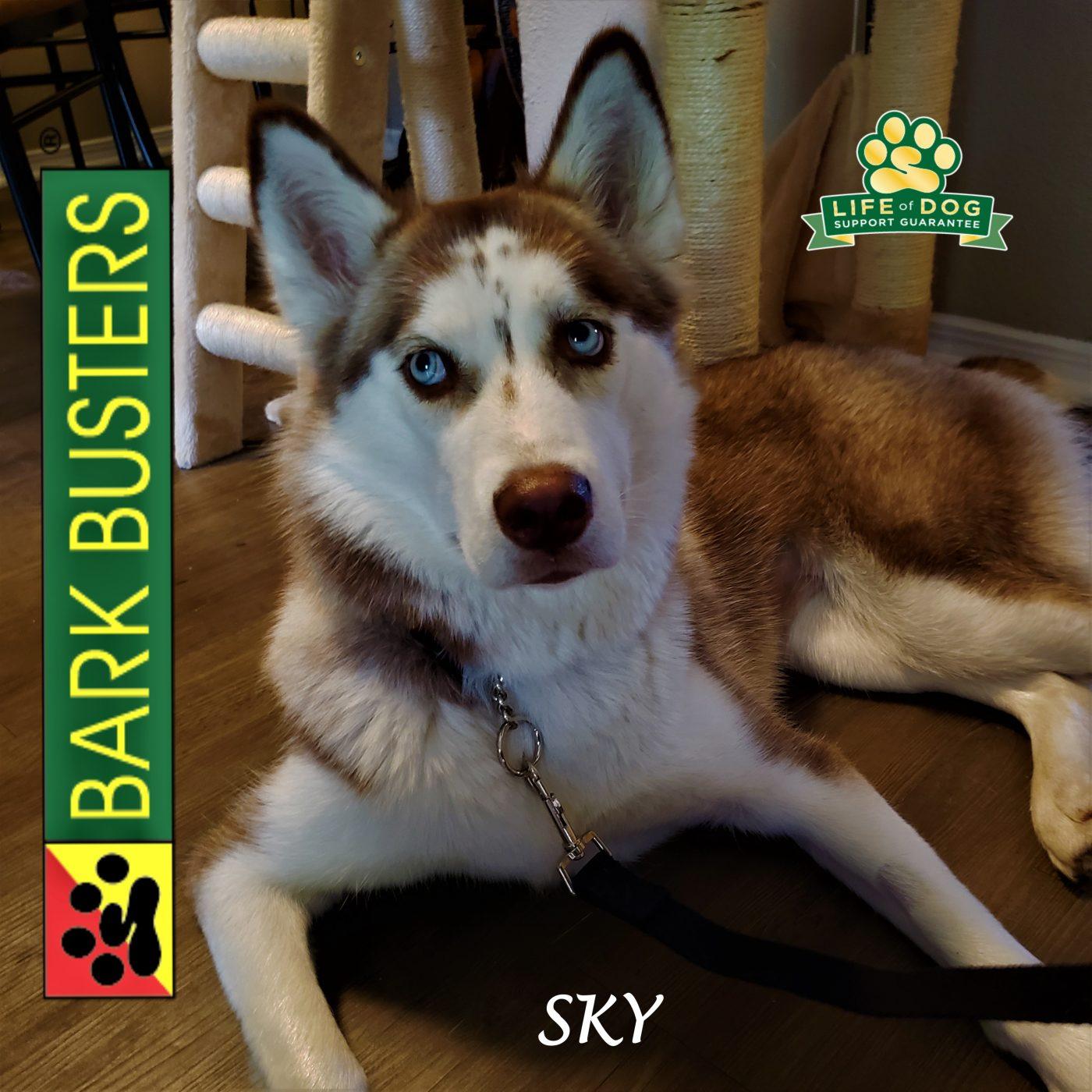 #husky #obediencetraining #leashtraining #dogtrainingaustin #dogtrainernearme #barkbusters #inhomedogtraining