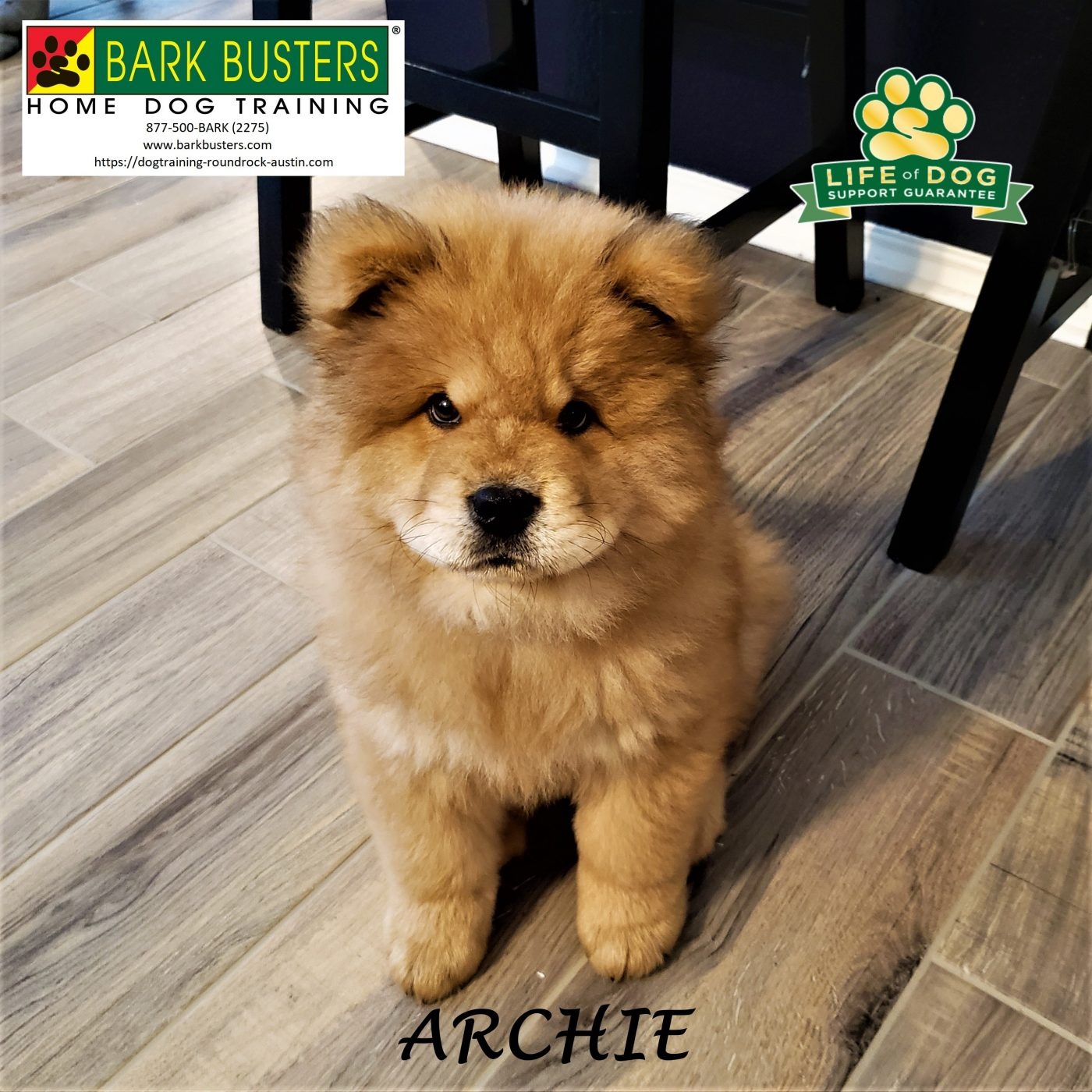 #chow #chowchow #puppytraining #dogtrainingroundrock #dogtrainernearme #barkbusters #inhomedogtraining