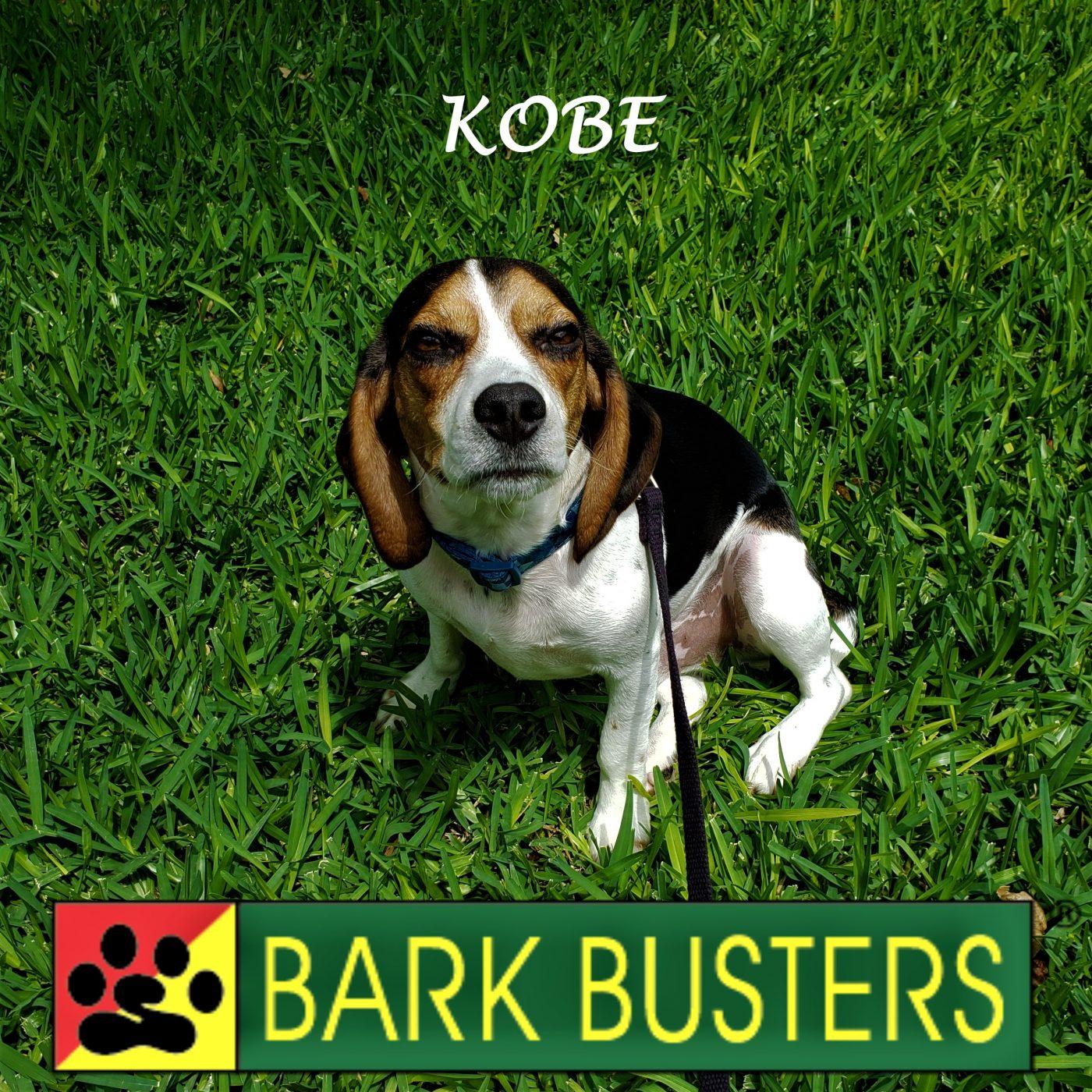 #beagle #dogaggressive #leashtraining #dogtraininghutto #dogtrainernearme #inhomedogtraining #barkbusters