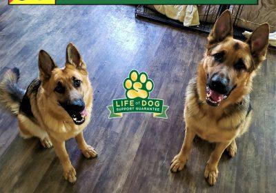 #germanshepherd #gsd #leashtraining #dogaggression #dogtrainingjarrell #dogtrainernearme #speakdogchangeyourlife #barkbusters #inhomedogtraining