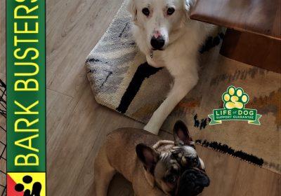 #pyrenees #frenchbulldog #obediencetraining #notreallyaggressive #dogtrainingaustin #speakdogchangeyourlife #barkbusters #dogtrainernearme