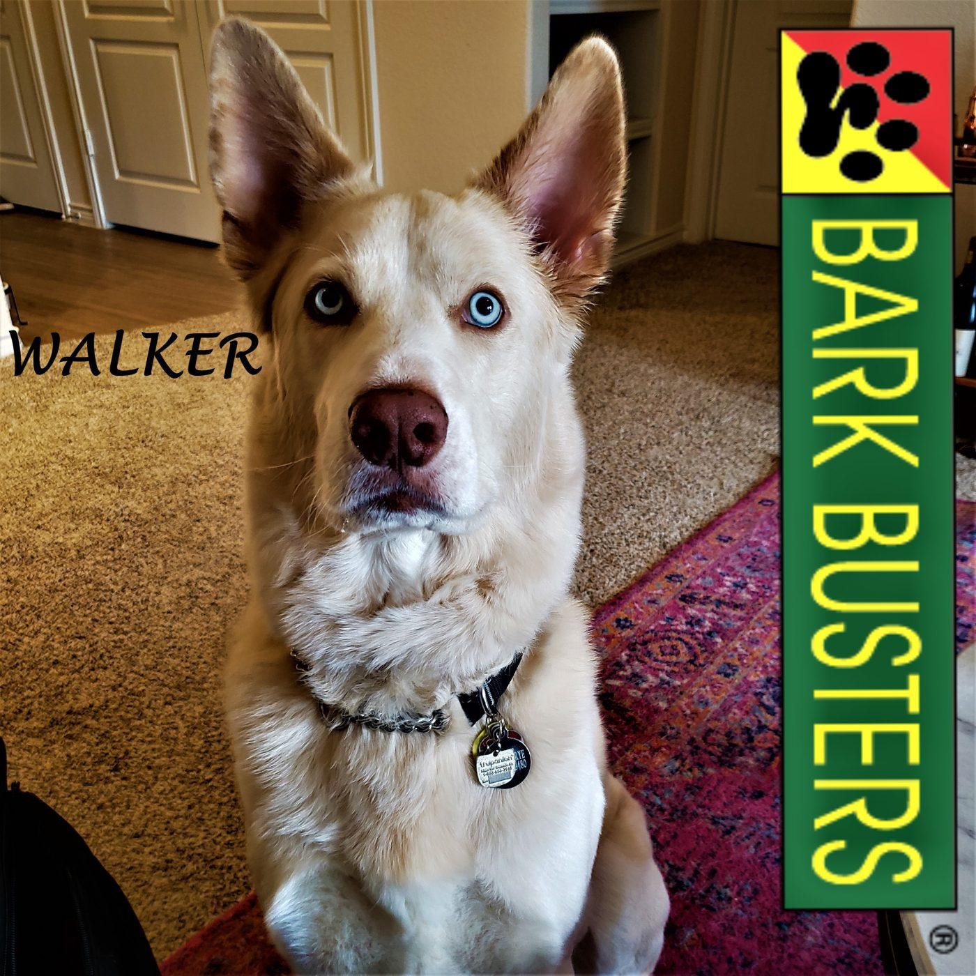 #husky #leashtraining #blueeyeddog #dogtrainingaustin #dogtrainernearme #speakdogchangeyourlife #barkbusters